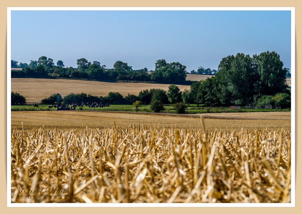 Golden Fields by carolmw