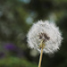 A dandy dandelion by mittens