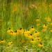 field of black-eyed susans by jernst1779