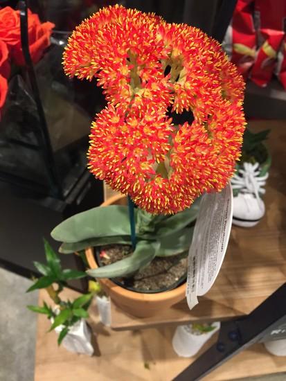 Scarlet Paintbrush succulent by kchuk