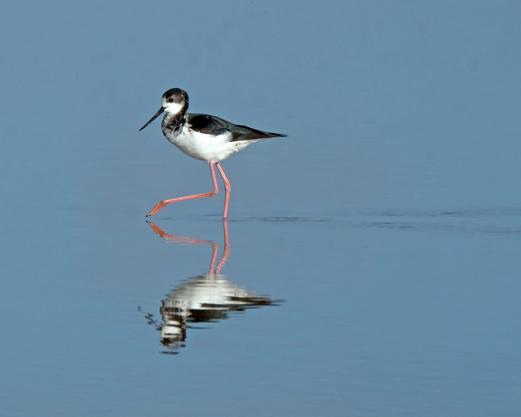 Young pied stilt out walking by maureenpp