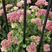 Sedum in Flower.