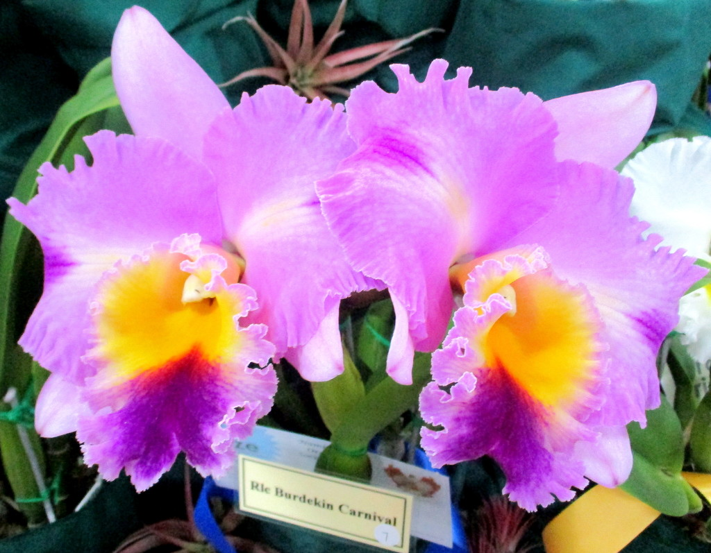 Unusual colouring in these orchids    (Cattleya) by 777margo