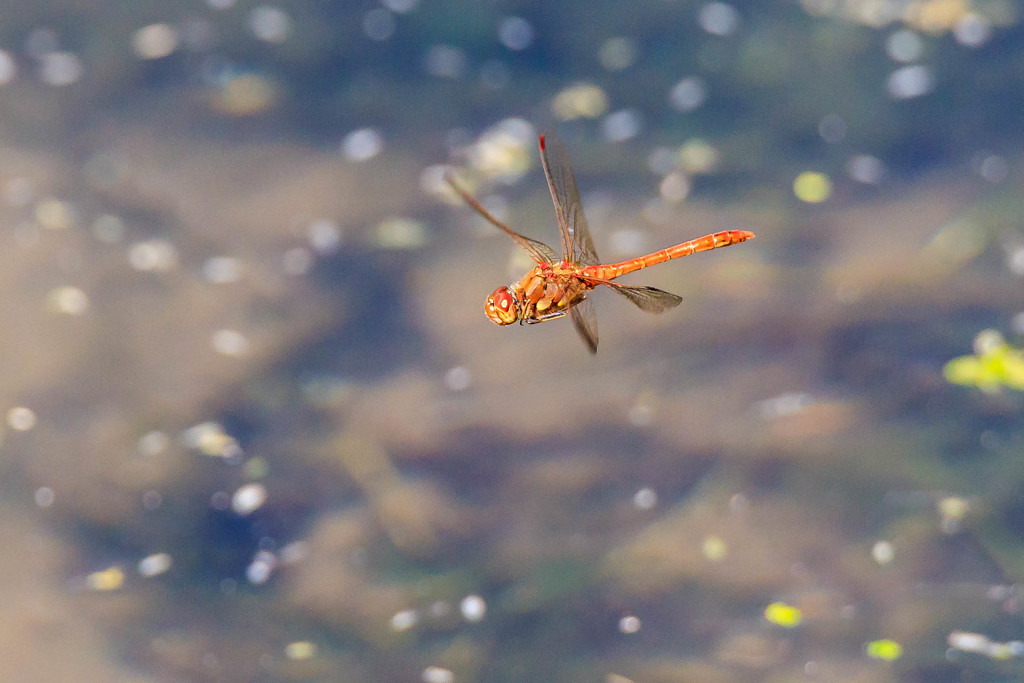 Common Darter-Male. by padlock
