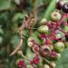 Poke Berries by cjwhite