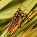 Lubber Grasshopper! by rickster549