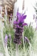 7th Sep 2018 - Lavender