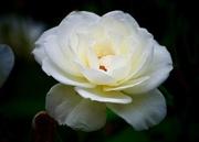 7th Sep 2018 - White Rose