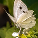 Cabbage Butterfly in her  Tattered Glory