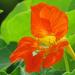 Edible Flower...Nasturtium by seattlite