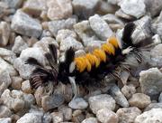 8th Sep 2018 - Milkweed Tussock Moth Caterpillar