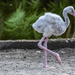 Baby Flamingo by danette
