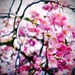 blossoming... by maggiemae