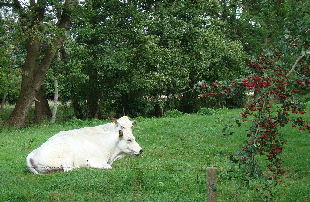 white cows, red berries by gijsje
