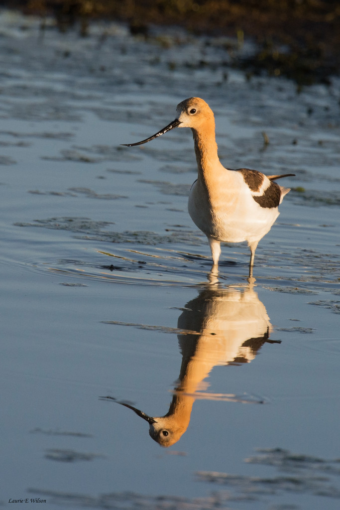 Avocet in Breeding Plumage Reflection at Sunrise by laurieewilson