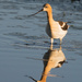 Avocet in Breeding Plumage Reflection at Sunrise