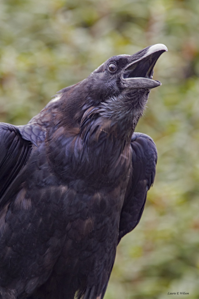 Common Raven Calling  by laurieewilson