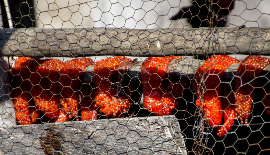 Fish Eggs Drying by jetr
