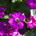 cineraria with bee