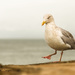 Seagull with attitude by shepherdmanswife