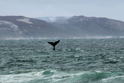 20th Aug 2018 - 2018 08 20 Whales ...