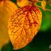 Autumn leaf by elisasaeter