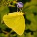 Cloudless Sulphur Butterfly!