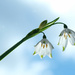 Snowdrops against the sky by maureenpp
