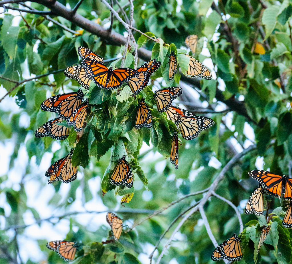 monarch migration by aecasey