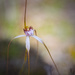 Spider Orchid by jodies