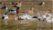 11th Sep 2018 - Daffy ducks