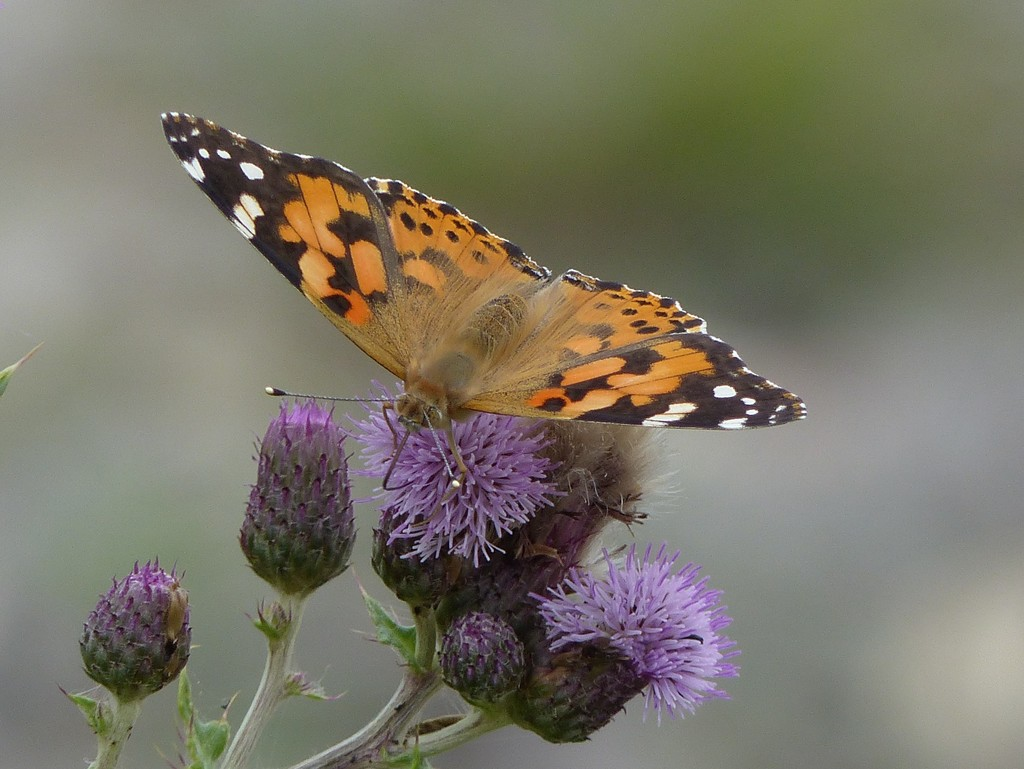 Painted Lady  by susiemc
