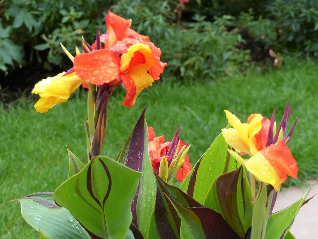 Cannas Still Flowering by susiemc