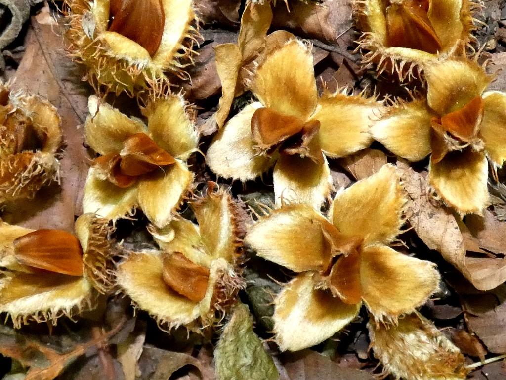 Beech nuts by julienne1