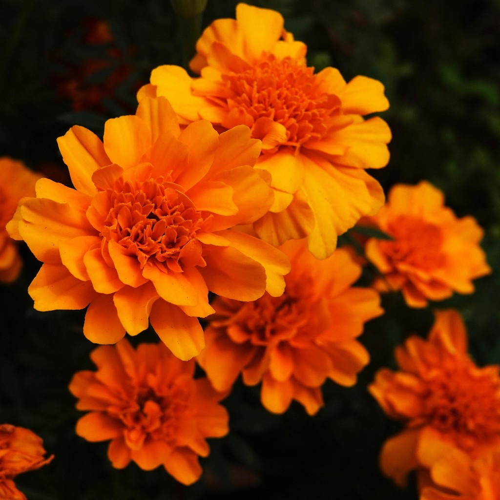 One Last Shot of the Marigolds by milaniet
