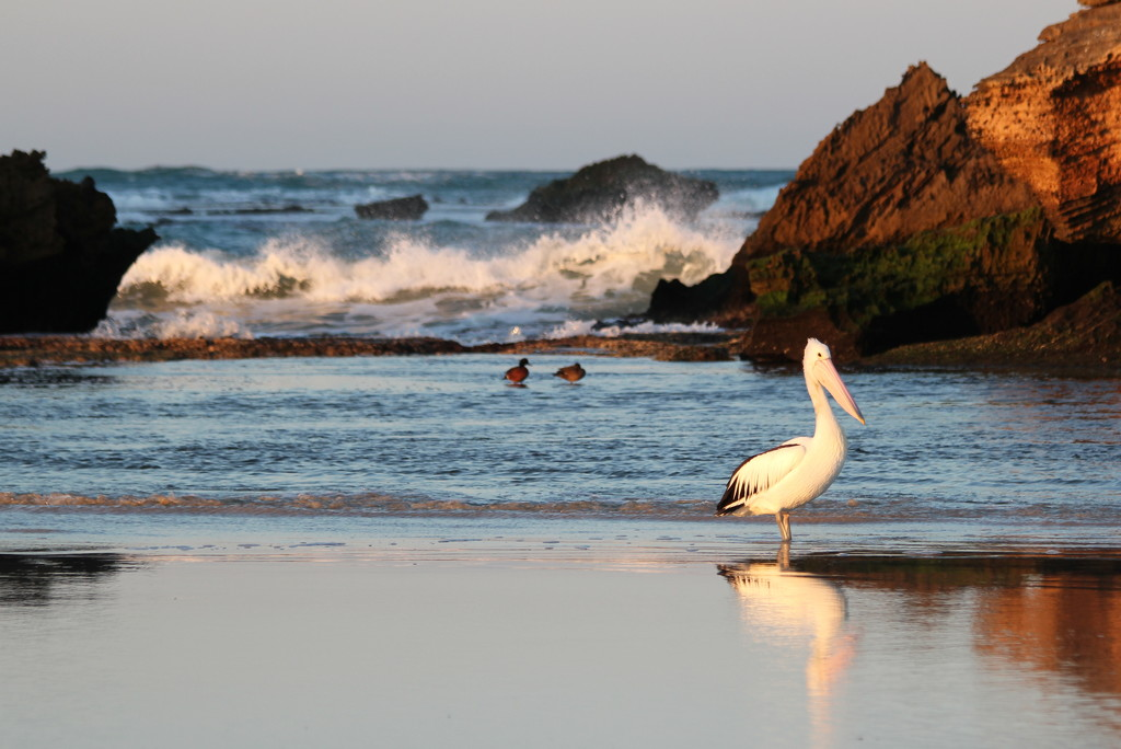 Good morning pelican by gilbertwood