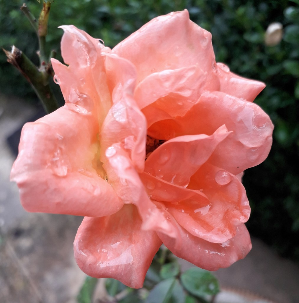 Rose in the rain by mave