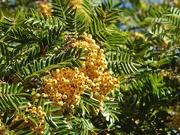 12th Sep 2018 - Yellow berried rowan