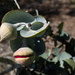SOOC13 Gumnuts