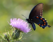 12th Sep 2018 - Pipevine Swallowtail