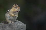 12th Sep 2018 - The Singing Golden-Mantled Ground Squirrel