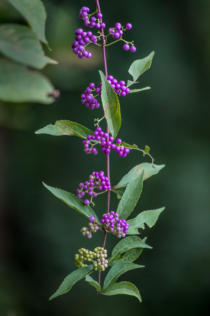 American Beautyberry by jnorthington