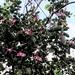 the flowering tree