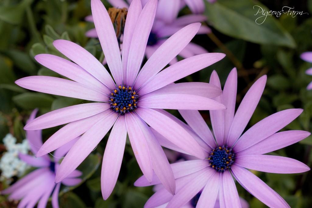 Daisy's by kgolab