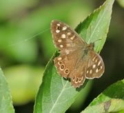 12th Sep 2018 - FZ1K2's first butterfly, Speckled Wood