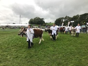 13th Sep 2018 - Cattle parade