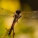 Dragonfly Shot!