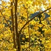 Quaking Aspen Leaves