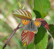 13th Sep 2018 - FZ1K2's first Small Copper