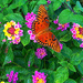 Butterflies love lantana flowers (Butterfly bush)